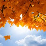 Maple Leaf HD Wallpapers and Background Images – Static Wallpaper Set