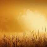 Golden wheat – Video Background HD – Landscape HD