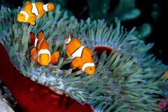 Clownfish-1