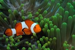 Clownfish-2