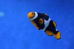 Clownfish-23