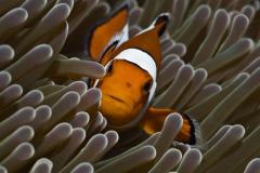 Clownfish-25