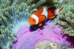 Clownfish-26