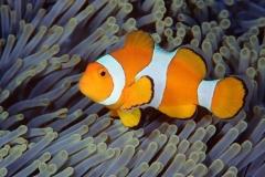 Clownfish-27