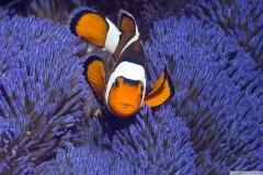 Clownfish-28