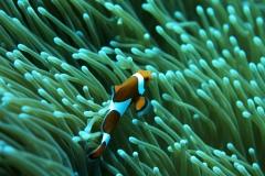 Clownfish-30