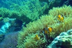 Clownfish-32