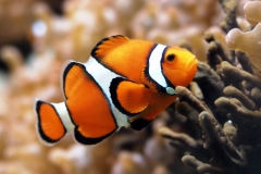 Clownfish-33