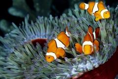 Clownfish-34