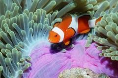 Clownfish-35