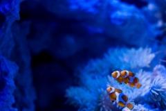 Clownfish-36