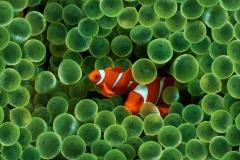 Clownfish-38