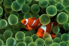 Clownfish-39