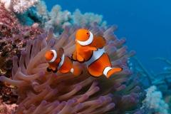 Clownfish-44