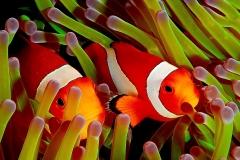 Clownfish-45