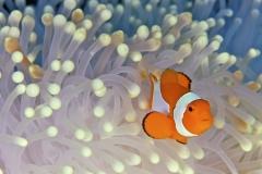 Clownfish-47