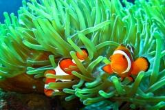 Clownfish-49