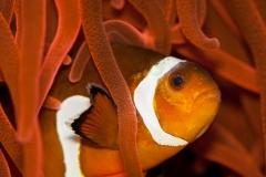 Clownfish-5