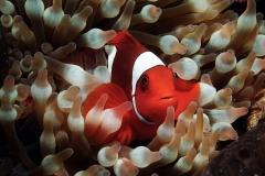 Clownfish-6