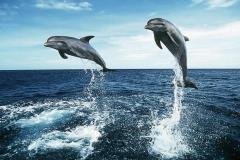 Dolphin-25