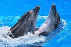 Dolphin-34