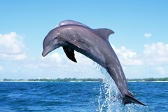 Dolphin-36