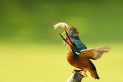 Kingfisher-11