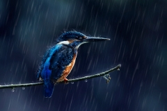 Kingfisher-2