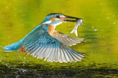 Kingfisher-25