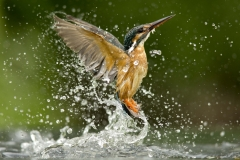Kingfisher-5