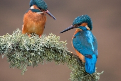 Kingfisher-9