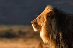 Lion-15