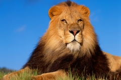 Lion-17