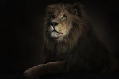 Lion-9