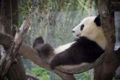 Panda-14