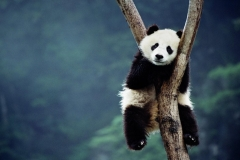 Panda-9
