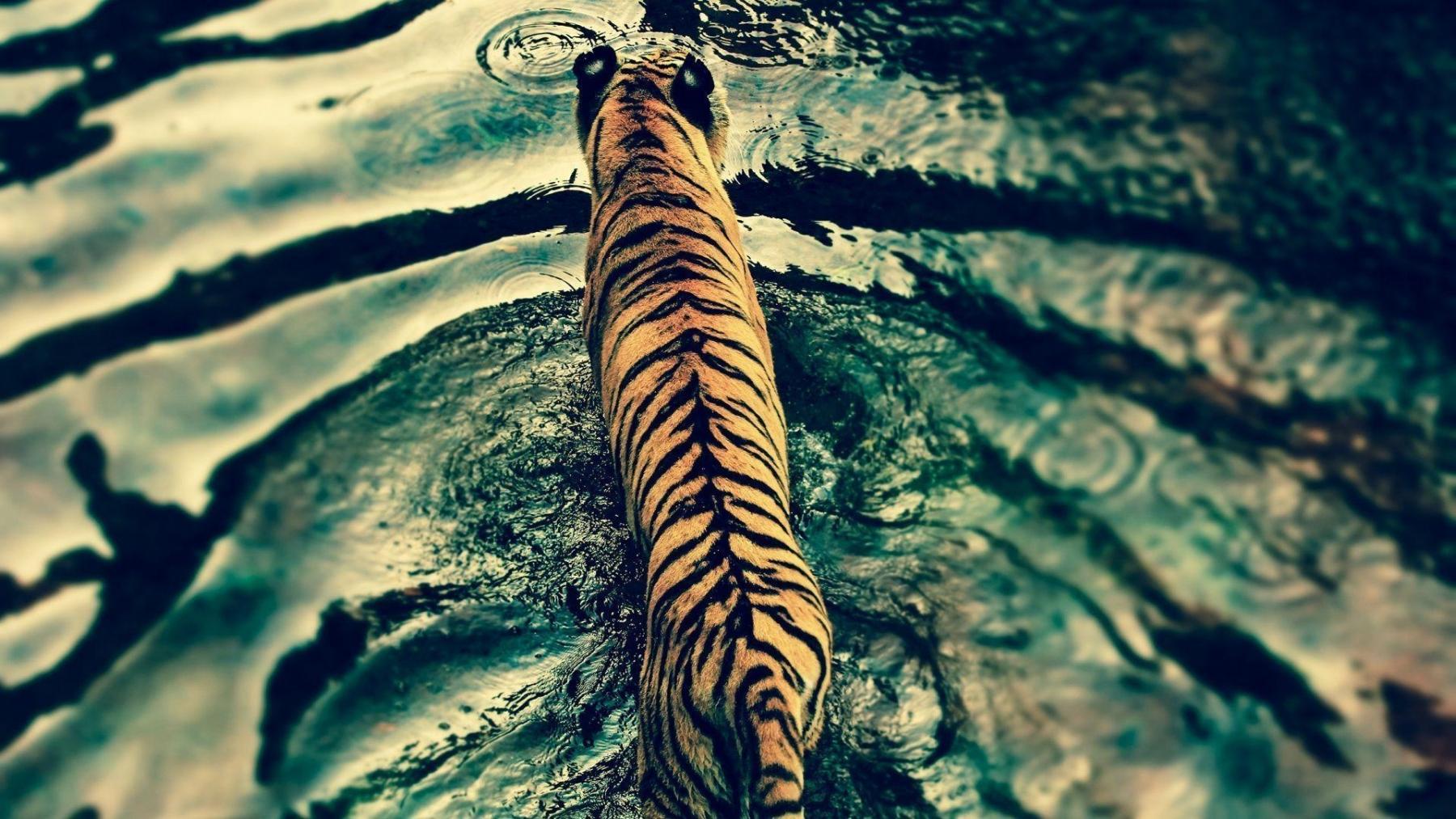 King of the Forest Tiger HD Desktop, Tablet, Mobile