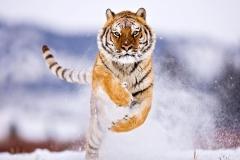 Tiger-41