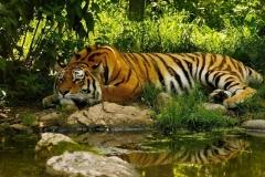 Tiger-44