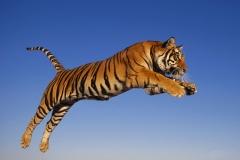 Tiger-48