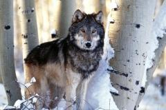 Wolf-32