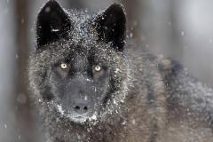 Wolf-34