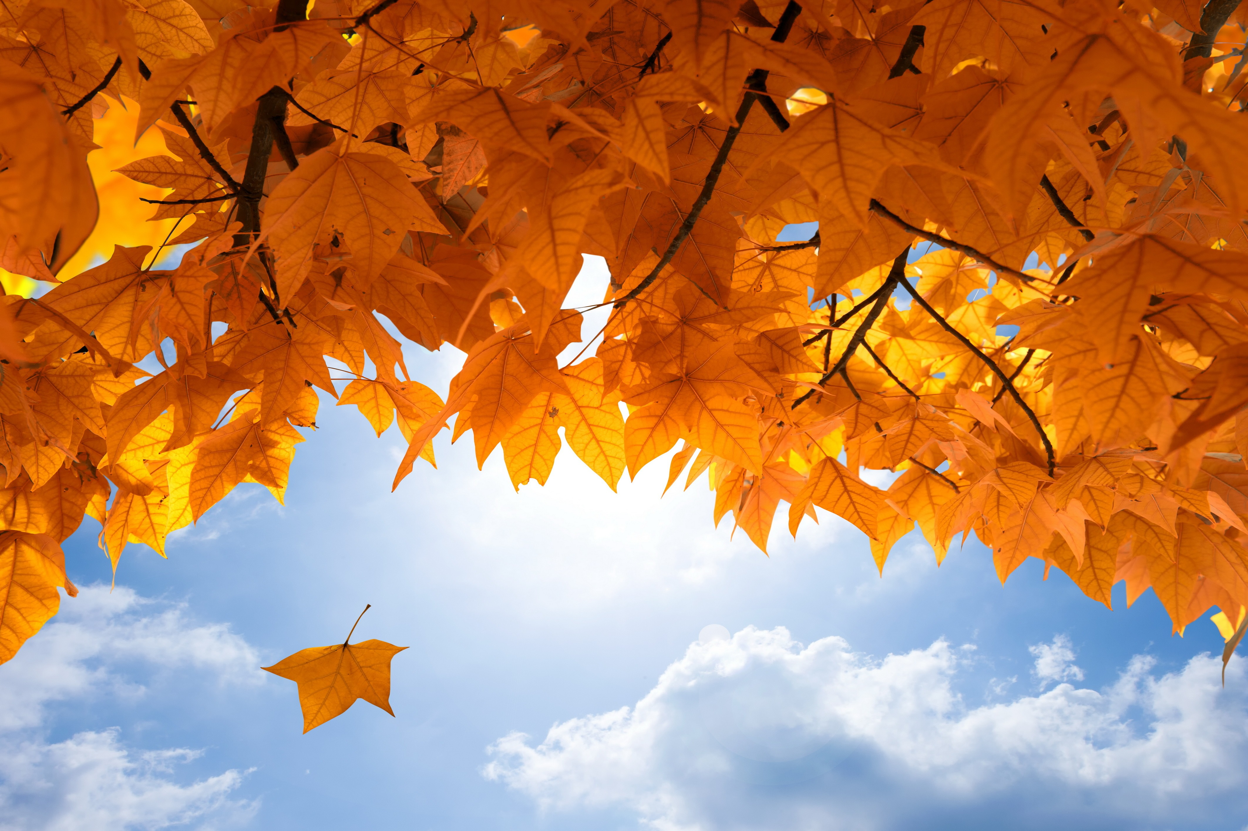 Maple Leaf Hd Wallpapers And Background Images Static