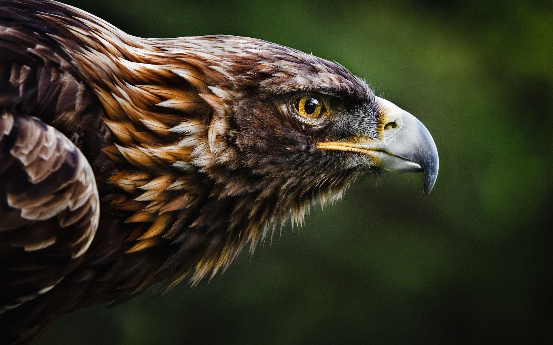 Eagle Wallpapers Hd Background Images Photos Pictures Yl Computing